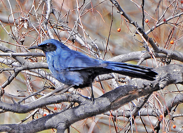 Photographs Of Mockingbirds And The Birds On Arizona Desert Other Parts State