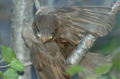 Photographs Of White Throated Sparrows And The Birds On
