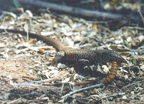 Lizards Eat Worms Eat-worm.jpg