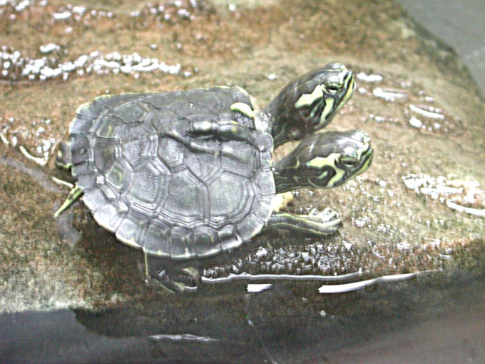 Four headed turtle